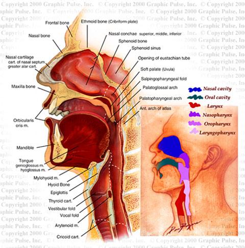 Sagittal Head Anatomy - Medical Illustration - Graphic Pulse